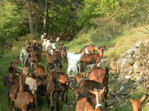 Chèvres de la Ferme de l'Amélie qui descendent trouver la fraîcheur vers le ruisseau du Furon - été 2014